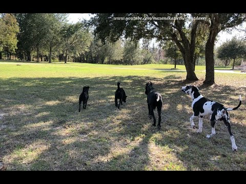 Great Dane Shows Dog Friends How To Bark Hello to Neighbor Dog