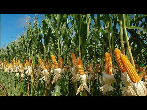 Amazing Agriculture Farm Tecnology - Life Cycle Of Sweet Corn Harvest And Processing
