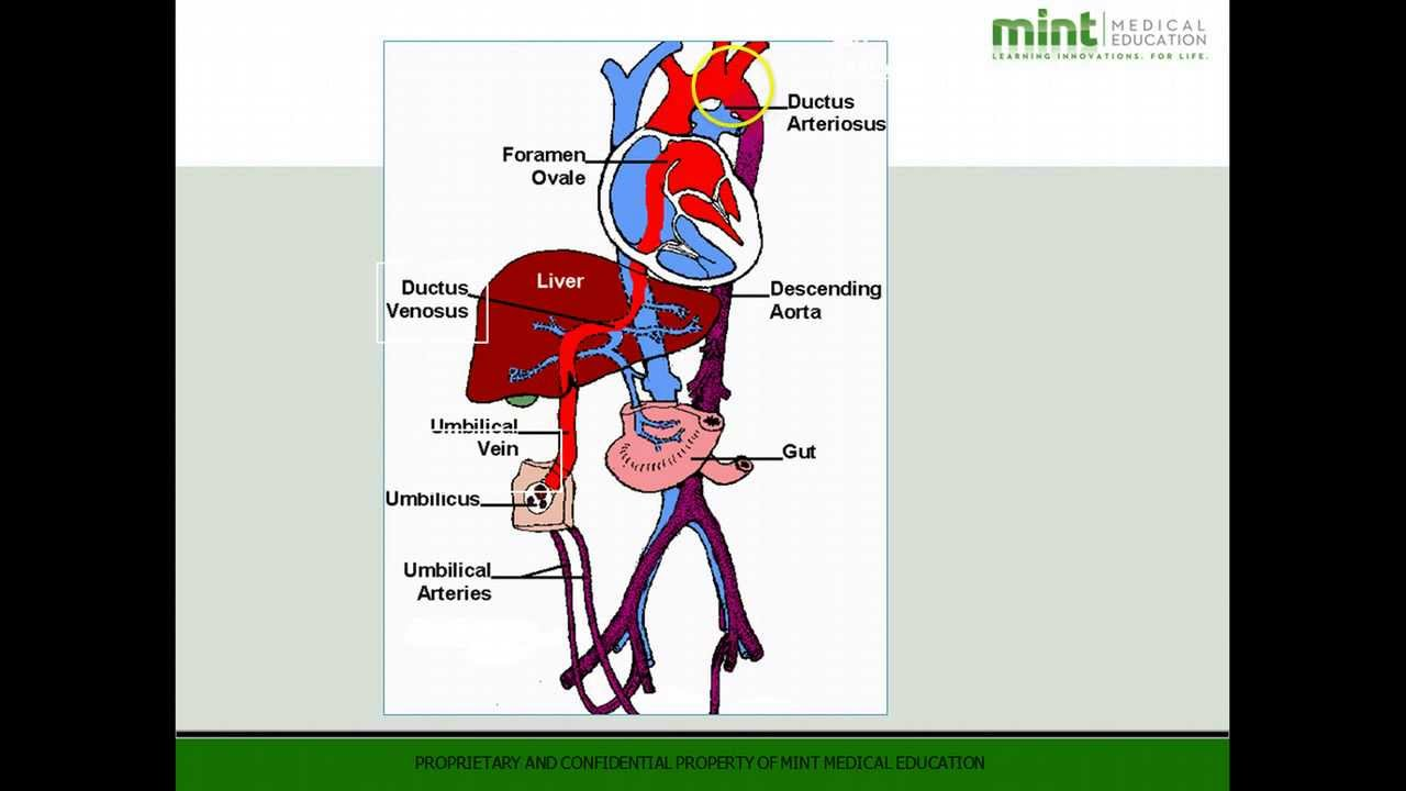 MME TV: Fetal Circulation - A Quick Review - YouTube