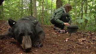 Black Bears in Vermont   Outdoor Journal   Season 11