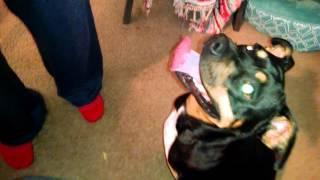 Lucky Christmas Smile - 3 Legged Staffordshire Bull Terrier