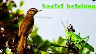 Guacorr tenan suaranya rek!,burung kecici belalang MANTAP!!!.