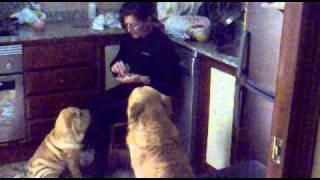La Encantadora De Perros Pepa Millan. Shar Pei Y Golden Retriever Siendo Educados.