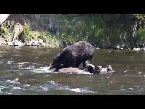 Grizzly Bear Eating Bull Bison LeHardy Rapids Yellowstone National Park