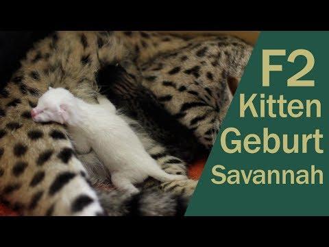 Savannah Katze - Geburt F2 Savannah snow