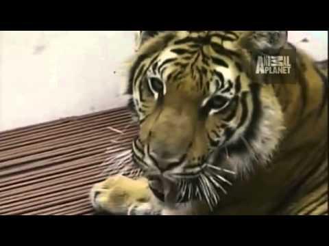 Tiger Nurses Piglets