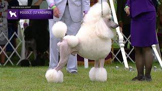 Poodles (Standard) | Breed Judging 2021
