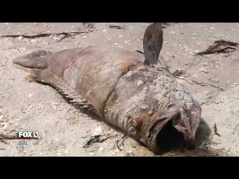 Red tide blamed for deaths as manatees, goliath grouper wash ashore