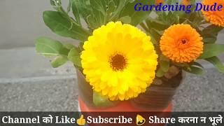 Calendula plant care   save calendula in March