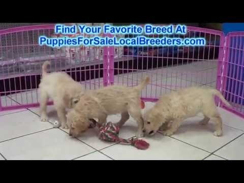 Goldendoodle, Puppies, Dogs, For Sale, In Jackson, Mississippi, MS, 19Breeders, Hattiesburg, Tupelo