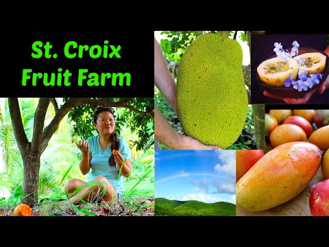 Tasting Tropical Fruits - St. Croix Tropical Fruit Farm