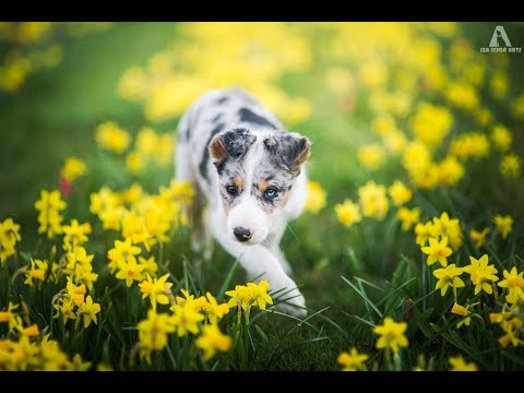 SAYKO - border collie puppy from 2 to 6 months ♥