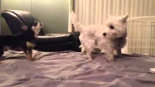 Deejay Westie Gets Annoyed By Bear Chihuahua And P