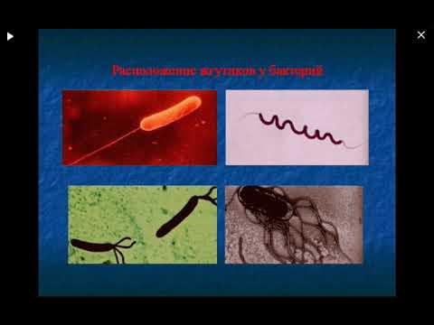 Морфология, структура и химический состав бактерий, спирохет, хламидий, грибов микоплазм Микробиолог