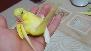 Mubabbet kuşları yavruların ilk uçuşu:)