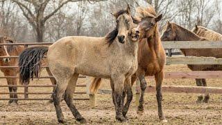 Horse Breeding : Balaฑcing Breed & Specific Goals