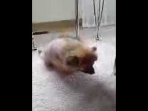 Dog With Tracheal Collapse Youtube
