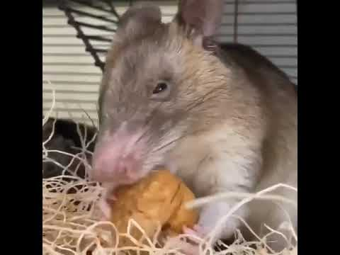 African Giant Pouched Rat Eats Walnut