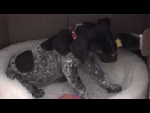 Jethro The 8 Week Old German Shorthaired Pointer Puppy Plays With Boxes