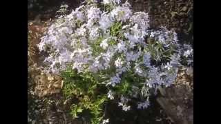 Мой маленький цветник в саду. Садим цветы весной. Обзор моего цветника. Мой цветущий сад. Мои цветы.(Мой маленький цветник в саду. Садим цветы весной. Обзор моего цветника. Мой цветущий сад. Мои цветы. Это виде..., 2015-05-30T00:02:25.000Z)