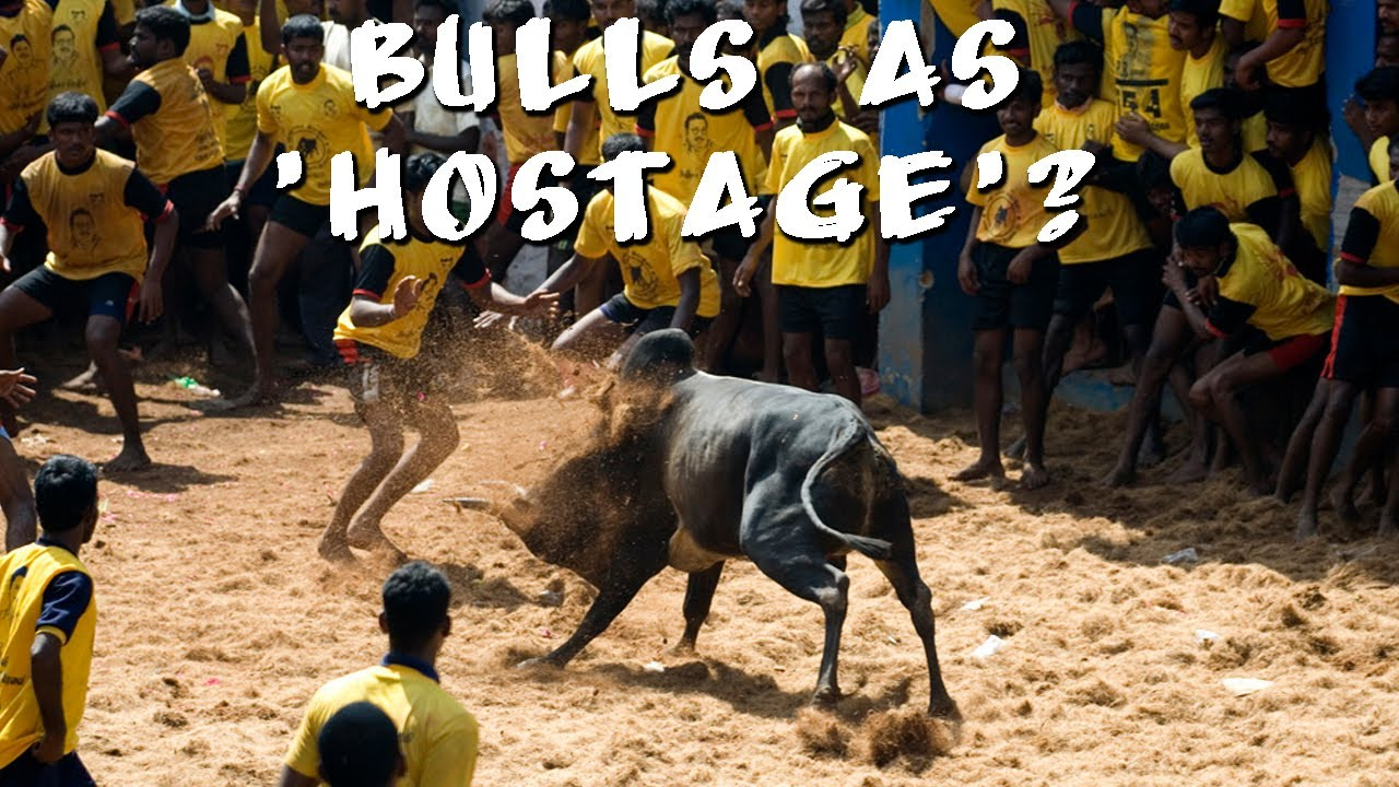 Trained Jallikattu Bulls Being Sold Off To Slaughter Houses