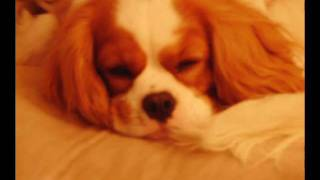 The Rabbit Hunter: A Cavalier King Charles Spaniel Story.