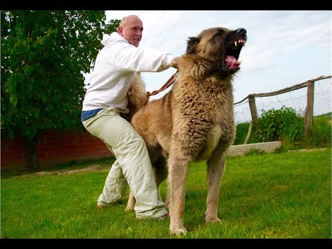 JOZO Dog -Zelov Kangal 1 Jahr alt