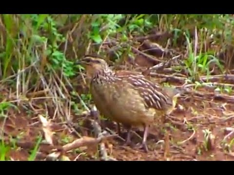 Crested Francolin at Africa river cam. 16 March 2018