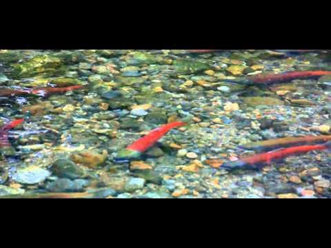 Kokanee Salmon spawning at Taylor creek Canon 60D