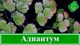 видео Комнатное растение адиантум: уход в домашних условиях