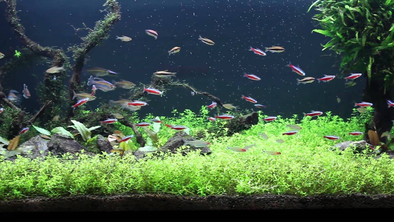 Aquarium fish tetras 1000 aquarium ideas for Tetra fish tanks