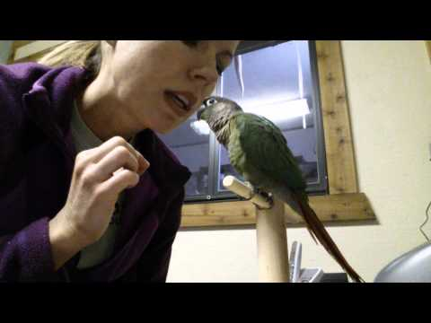 Training Baby the green cheek conure parrot to kiss