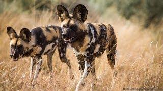 وثائقى | الكلاب البرية الأفريقية أكثر المفترسات وحشية عالم الحيوانات المفترسة