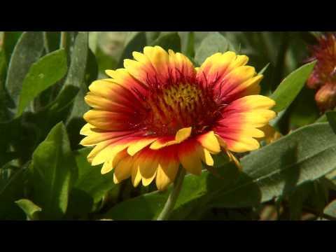 Mesa gaillardia blooms throughout the year