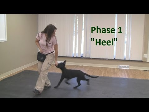 "How to Train a Dog to ""Heel"""