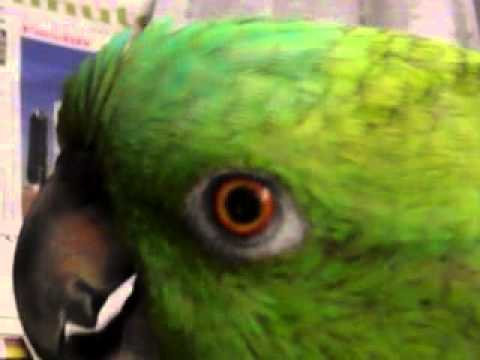 Minnie my yellow nape Amazon parrot talking