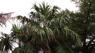 Thrinax parviflora, Jamaican Thatch Palm