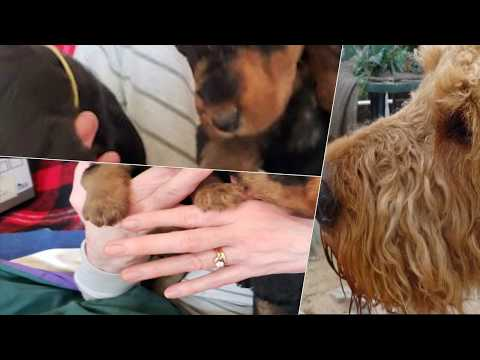 California Airedale Terrier Puppies
