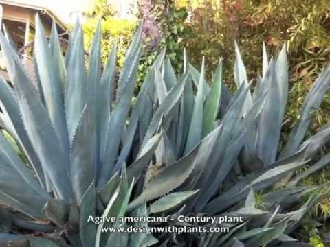 Agave Americana Century Plant Youtube
