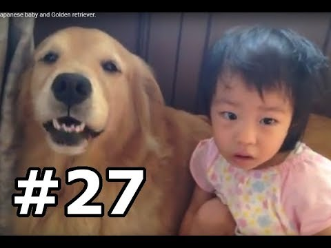 #27 They are Friends! The Japanese baby and Golden retriever.
