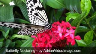 Butterfly Feeding on Flower Nectar - Video Clip