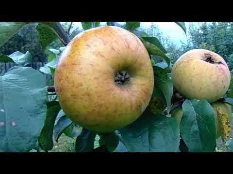Семена крупноплодных яблок - они есть у сибирского садовода В.Железова