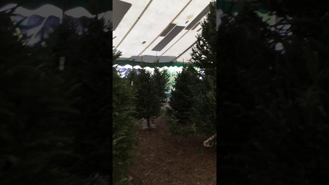 Large Selection Of Fraser Fir Christmas Trees At Jacks