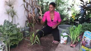 How to Prune Corn : The Chef's Garden