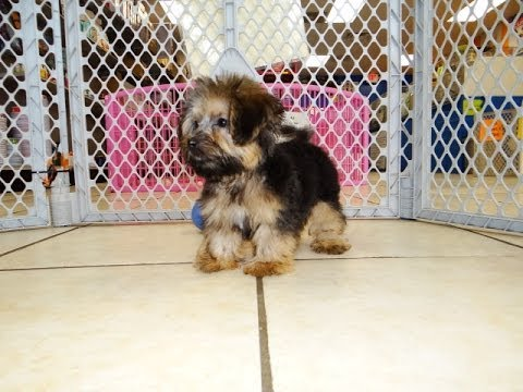 Yorkie Poo Puppies Dogs For Sale In Memphis Tennessee Tn