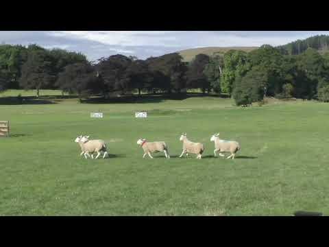 2st Day Welsh Nationals Sheepdog Trials 2018 - AM