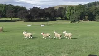 2st Day Welsh Nationals Sheepdog Trials 2018  AM