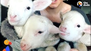 Rescue Lambs Love To Hop Around Their Parents' House | The Dodo