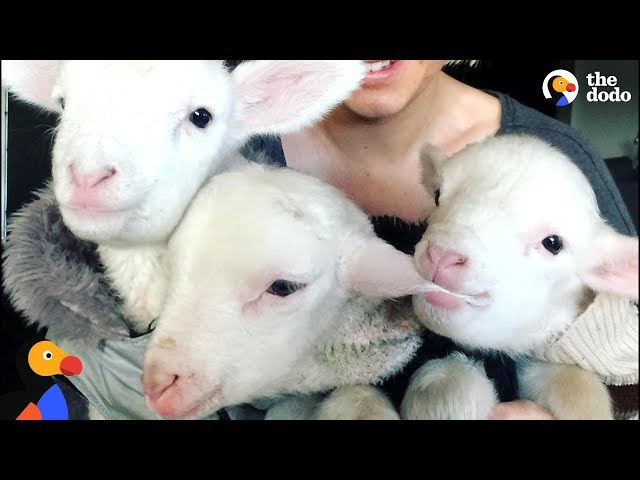 Rescue Lambs Love To Hop Around Their Parents House   The Dodo