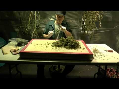 315 Watt Cannabis  Grow Yield